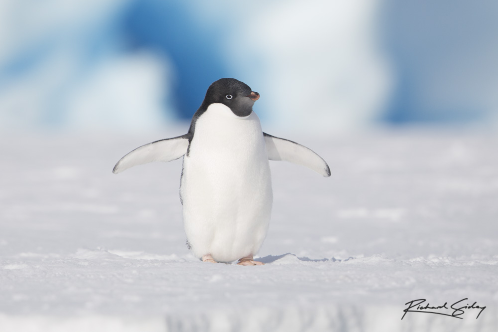 Adelie Penguin in Crystal Sound, Antarctica