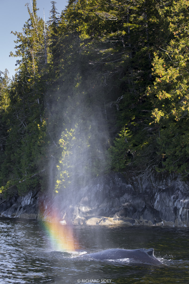 A Humpback Whale creates rainbows in the morning light.