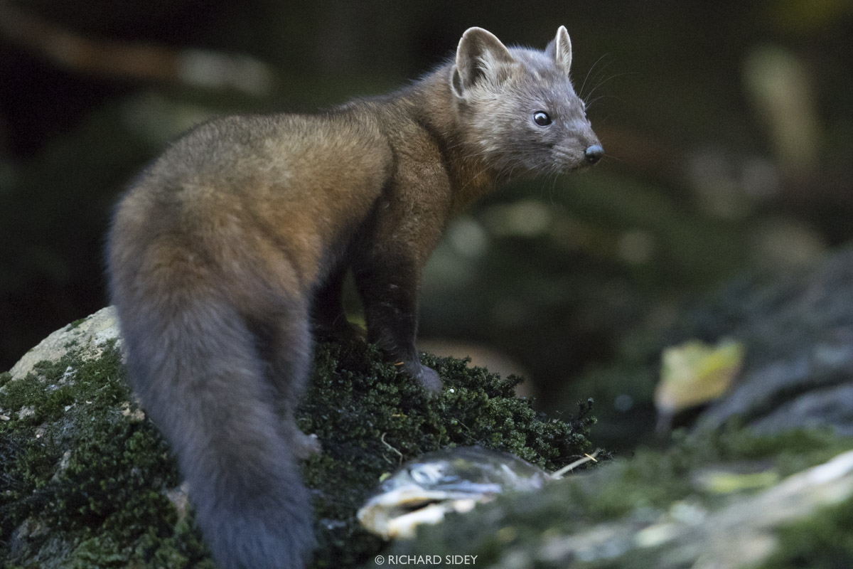 A Pine marten scavanging for fish remains.