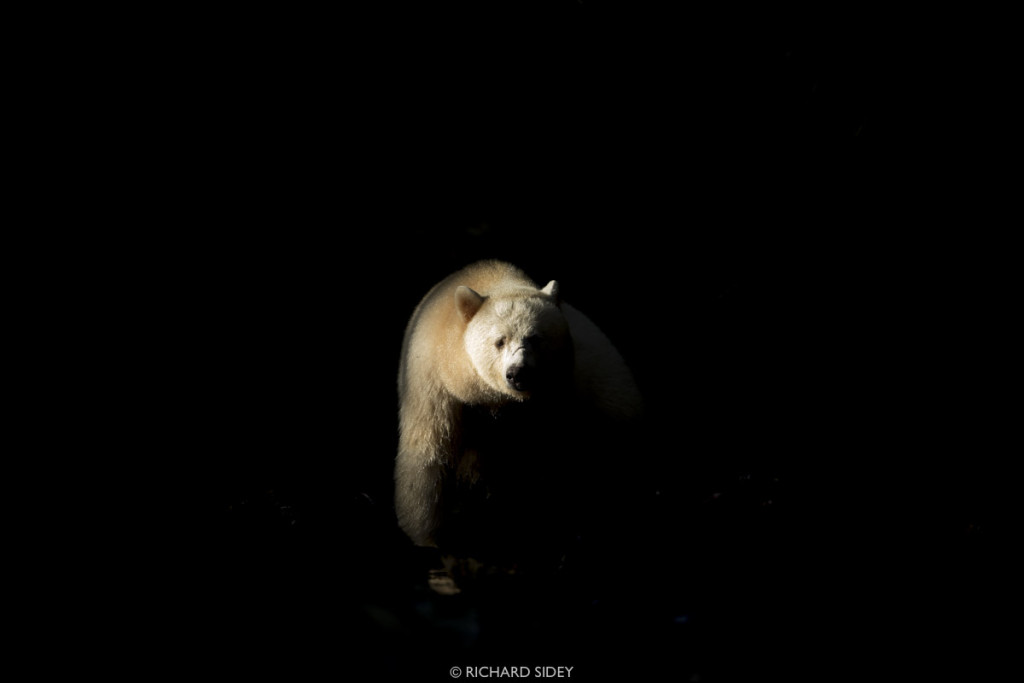 Deep in Canada's Great Bear Rainforest, a Spirit Bear steps into a single ray of light that evades the dense canopy overhead. The bear's white fur catches the light, illuminating the bear in an otherwise dark setting, and depicts the name given to the white bear by the local Gitga'at First Nation - Moksgm'ol (Ghost Bear).